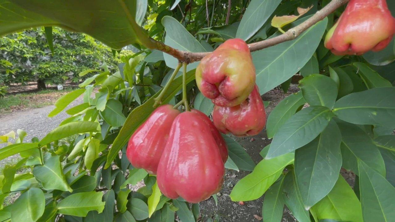 Taiwaneses muestran su apoyo comprando manzanas de Java de Kaohsiung